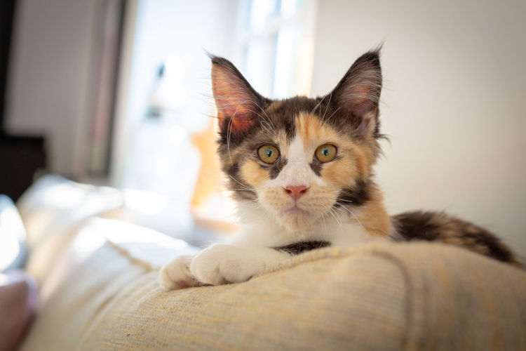 Animal Animal Head  Animal Themes Cat Close-up Domestic Domestic Animals Domestic Cat Feline Focus On Foreground Furniture Home Interior Indoors  Looking At Camera Mainecoon Mammal No People One Animal Pets Portrait Relaxation Vertebrate Whisker