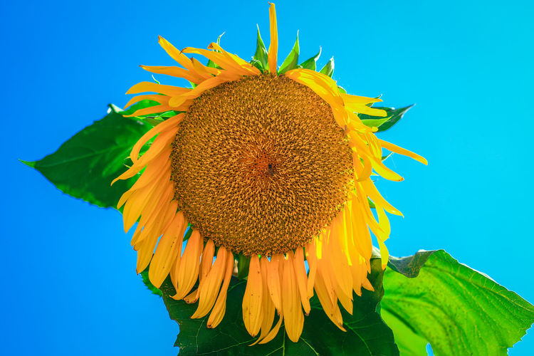 Close-Up Of Sunflower Against Sky
