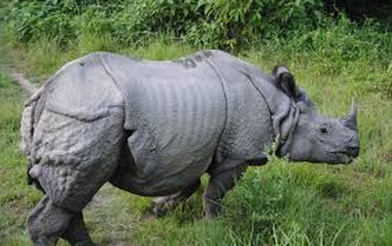 One Horned Rhino...... Found Only In NEPAL @Chitwan National Park..... Amaging Creature To Watch At.....