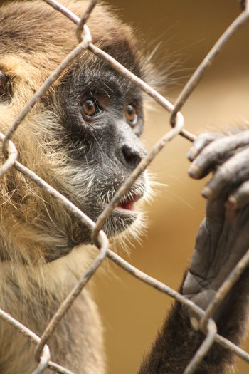 Poor poor mr Monkey Animal Themes Animal Wildlife Animals In Captivity Animals In The Wild Cage Caged Chimpanzee Close-up Day Looking At Camera Mammal Monkey Nature No People One Animal Orangutan Outdoors Portrait Primate Sad Sad & Lonely Zoo