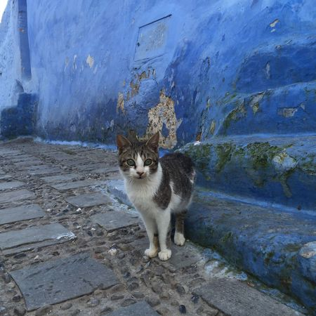 Domestic Animals Animal Themes Domestic Cat Pets One Animal Mammal Cat Whisker Looking At Camera Feline Footpath Outdoors No People Blue Beautiful Town アフリカ Morroco Traveling Morrocobeauty Blue City 青 Chaouen