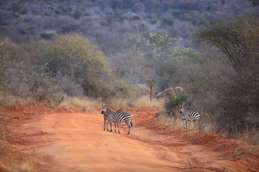 Tsavo West NP, Kenya Africa Animal Themes Animal Wildlife Animals In The Wild Kenya Mammal National Parks Kenya Nature Red Soil Safari Animals Tree Tsavo West Wilderness Area Zebra Zebra Crossing