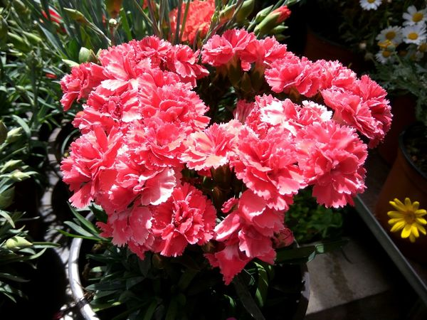 Carnation Carnation Flowers Flower Plant Nature No People Red Growth Day Outdoors Beauty In Nature Fragility Close-up Water Flower Head Freshness Flower Collection Backgrounds EyeEm Nature Lover EyeEm Best Shots - Nature Sunlight Full Frame Flowers,Plants & Garden Close Up Beauty In Nature