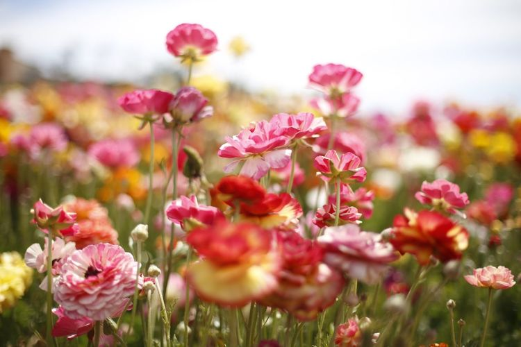 Flower Flowering Plant Plant Beauty In Nature Freshness Vulnerability  Fragility Close-up Nature Petal Selective Focus Flower Head Pink Color Growth Field Inflorescence No People Day Outdoors Land