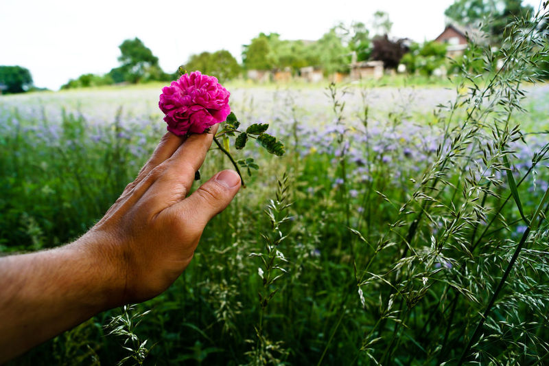 Close-up of hand holding purple flower on field