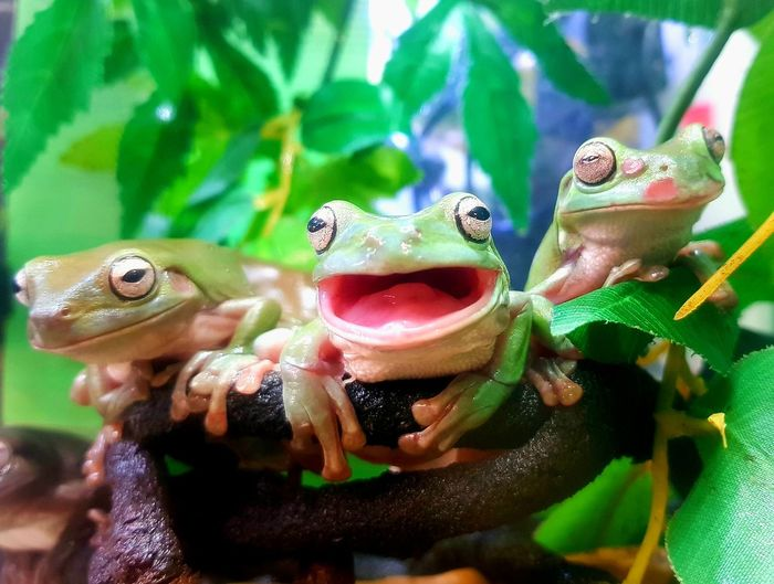 Hello Petmart Pets Exotic Pets Big Eyes Green Color Small Tree Frogs Laughing Frog Mouth Open Yawning Frog Reptile Portrait Close-up Frog Amphibian Tiny