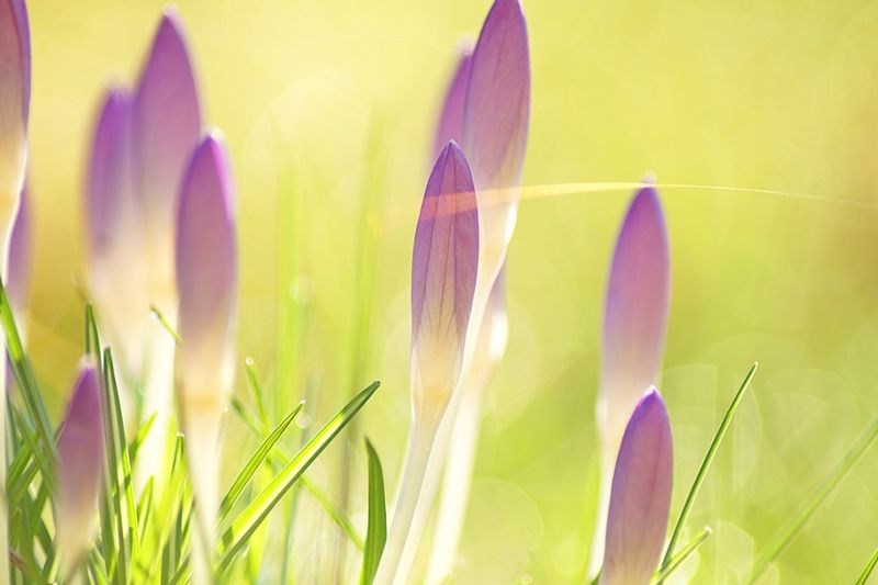Close-up of purple crocus flowers on field