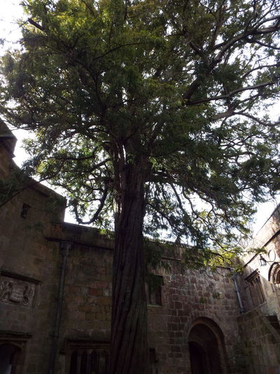 Ancient Tree Yew Tree Conduit Court Ancient Yews Ancient Yew Tree Medieval Castle Castle Medieval Skipton Castle