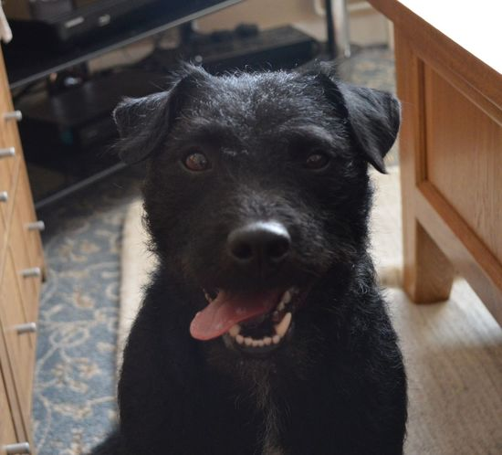 I Love My Dog Patterdale Terrier My Dog Is Cooler Than Your Kid. Tongue Cute Dog Black Puppy Nose