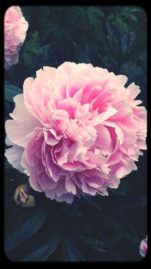 Flower Pink Summer ☀ First Eyeem Photo