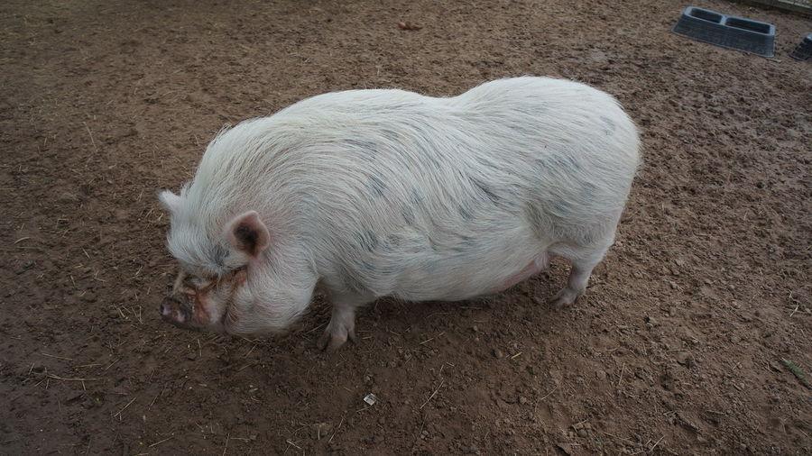 Pig White HOG Farm Animal