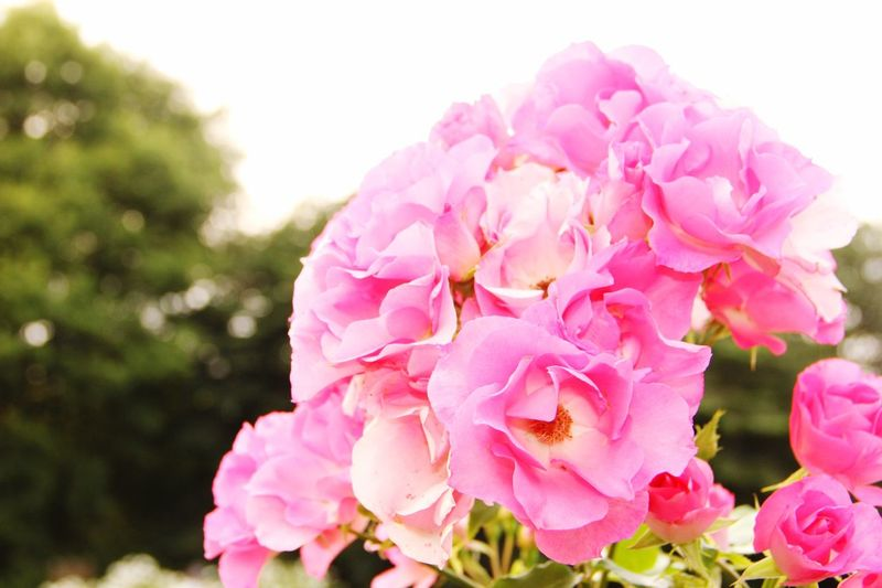 New Zealand NZ Travel クライストチャーチ 南島 Christchurch Botanic Gardens 薔薇 Flower Pink Color Fragility Close-up Nature Beauty In Nature Freshness Petal No People Flower Head Plant Outdoors Rhododendron Day Sky Millennial Pink