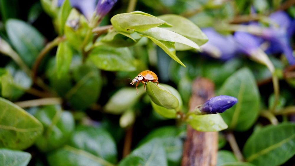 Reach Out Out On A Limb Idyllic Outdoors Tranquil Scene Nature Tranquility Reach Reaching Out Wildlife & Nature Flowers Insects  Rain Flowers,Plants & Garden Red Wildlife Water Beetle Ladybeetle Ladybug Ladybird Tranquillity The Great Outdoors - 2016 EyeEm Awards