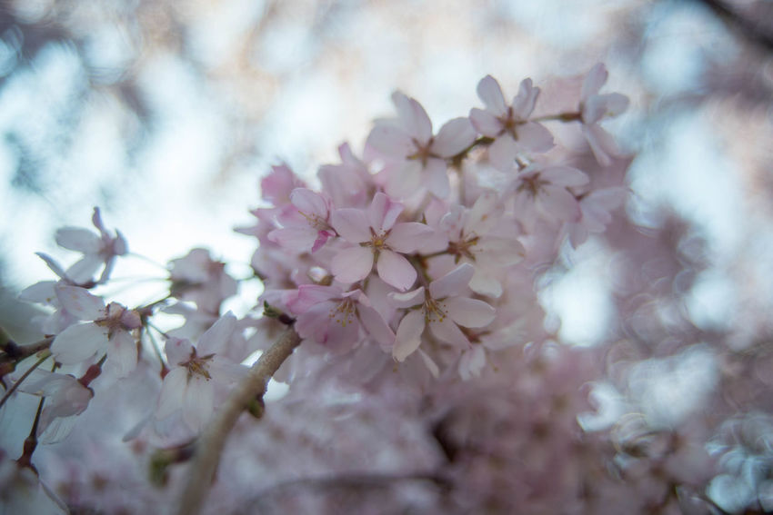 Beauty In Nature Cherry Blossom Close-up Flower No People Outdoors Springtime