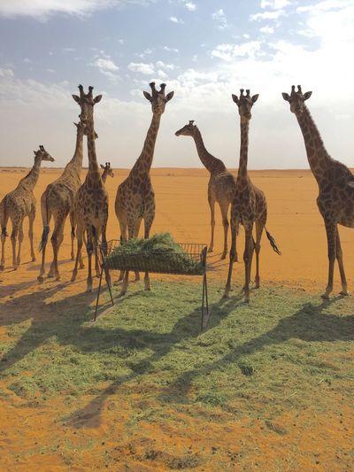 Giraffe Safari Animals Animal Wildlife No People Nature Outdoors Saudi Arabia Animals