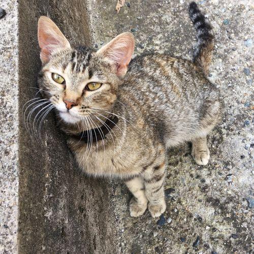 Pet Cat Feline