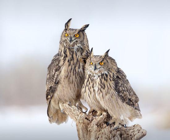 They are smirking. Animal Wildlife Animals In The Wild Bird Bird Of Prey Close-up Day Eagle Owl  No People Outdoors Smirk Snow Winter