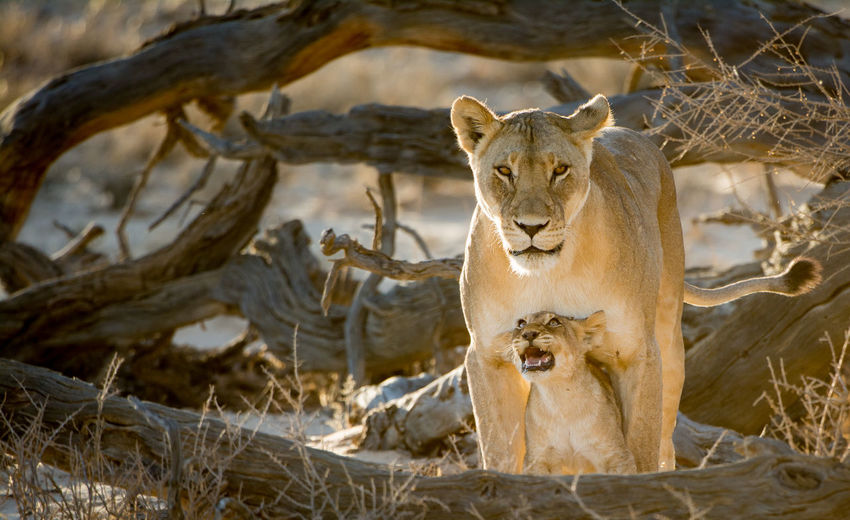 Are you there mom? Animal Themes Animal Wildlife Animals In The Wild Cute Day Kalahari Lion - Feline Lion Cub Lioness Mammal Nature No People Outdoors Wildlife Photograhy Wildlife Photography