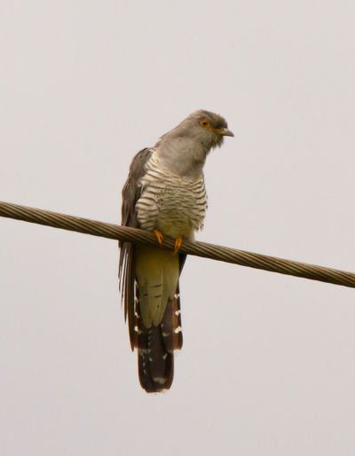 Animal Themes Animal Wildlife Animals In The Wild Bird Bird Photography Common Cuckoo Cuckoo Cuculus Canorus European Birds Nature Photography No People Western Palearctic Wildlife & Nature Wildlife Photography