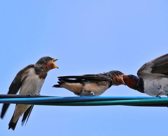 ツバメの親子 今朝の給餌風景 Animal Themes Bird EyeEm Best Shots