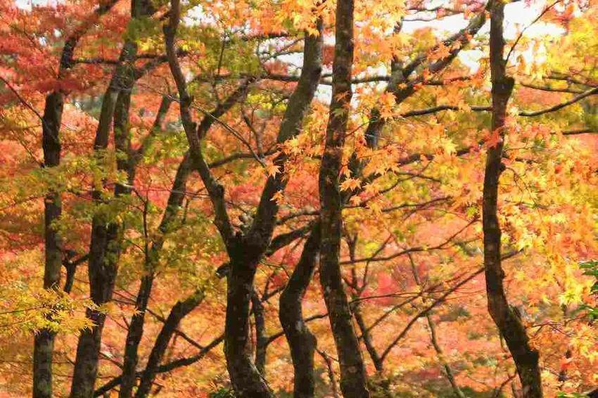 Autumn Autumn Colors Autumn Leaves Japan Japan Photography Autumn Beauty In Nature Tree