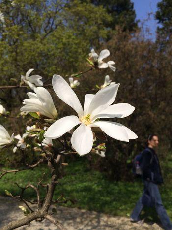 Magnolienblüte im Botanischen Gärten
