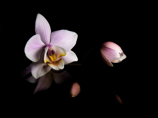 Flower Flowering Plant Fragility Freshness Petal Beauty In Nature Vulnerability  Plant Inflorescence Flower Head Studio Shot Black Background Close-up Nature Growth No People Pollen Indoors  Night Springtime Purple