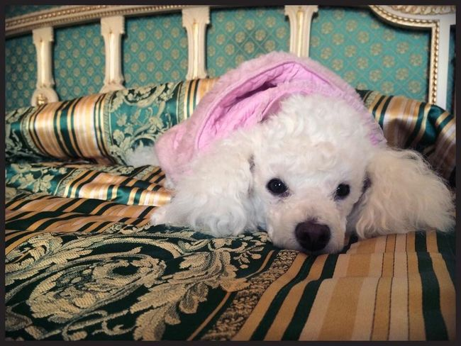 Poodle Poodle Love Poodletoy White Dog Pet Pet Photography  Sleeping Animal Themes One Animal Pets Looking At Camera Animal Head  Loyalty Pink Color No People