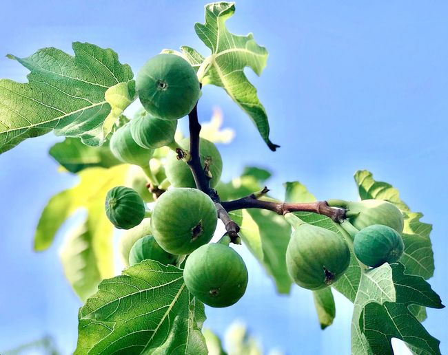 Figs And Leaves Figs Plant Growth Green Color Leaf Plant Part Nature No People Fruit Food Healthy Eating Tree 50 Ways Of Seeing: Gratitude