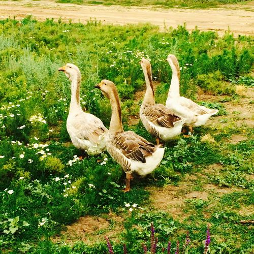 Goose Countryside Green Grass Nature