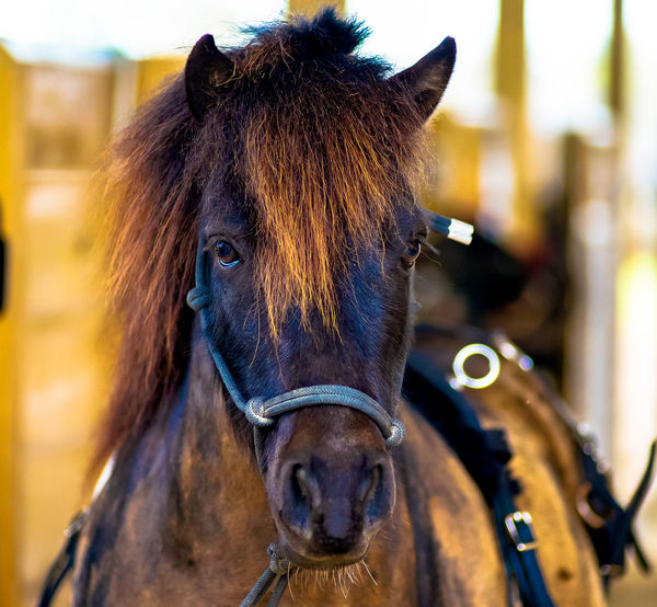 Animal Head  Animal Themes Bridle Brown Close-up Day Domestic Animals Focus On Foreground Herbivorous Horse Horse Portrait Livestock Mammal Mane Mini Bar Attack Mini Horse No People One Animal Outdoors Portrait Working Animal Working Horse Pet Portraits