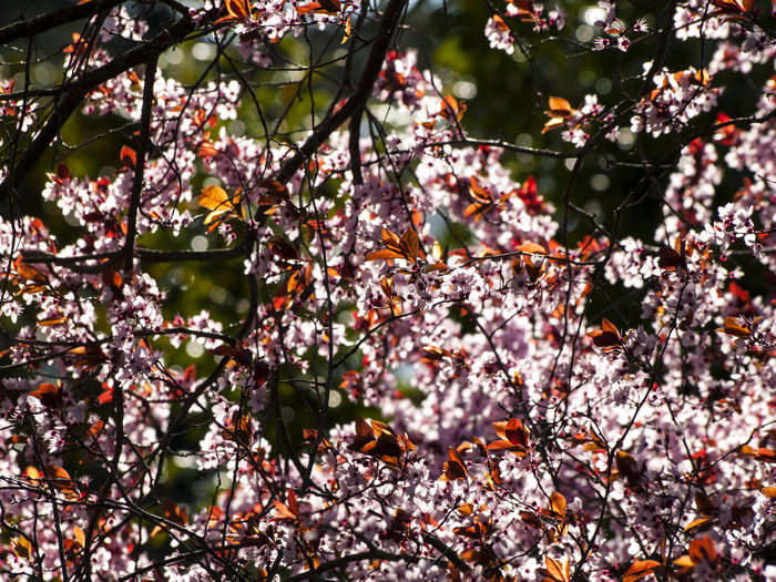 Agriculture EyeEm Selects EyeEmNewHere Plum Blossom Sunlight Beauty In Nature Blooming Blossom Botany Branch Environment Flower Fragility Freshness Growth Nature Pink Color Pink Flower Plum Prunus Rural Scene Spring Spring Flowers Springtime Tree