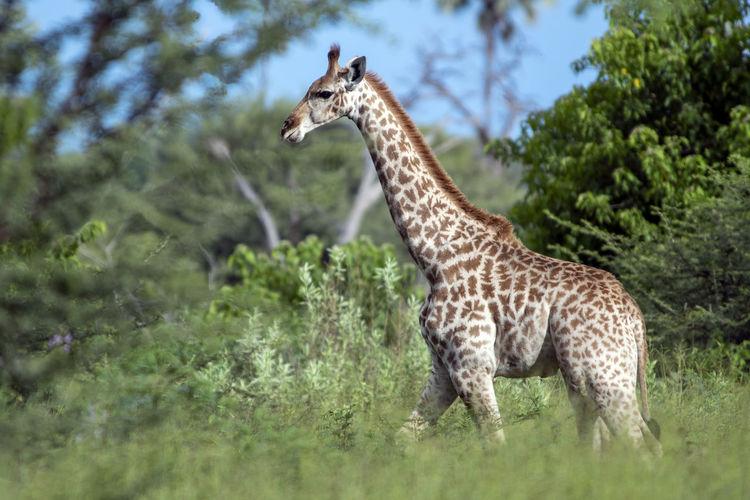 Side view of giraffe standing on land