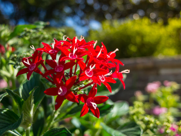 Red Pentas Lanceolata (Lucky Star) in a summer at a botanical garden. Bright Elégance Lucky Star Pentas Lanceolata Red Beauty In Nature Blooming Botanical Bunch Close-up Day Delicate Flower Flower Head Fragility Freshness Garden Growth Lovely Nature Outdoors Parkland Petal Plant Spring