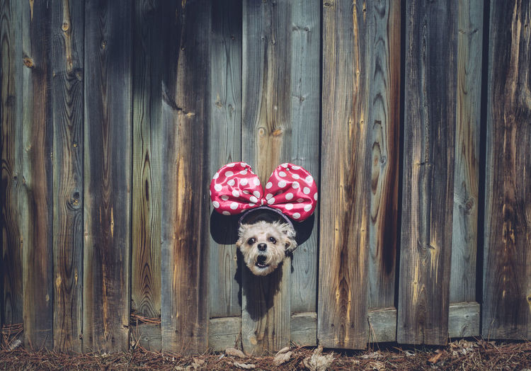 Animal Themes Bow Day Dog Domestic Animals Door Looking At Camera No People One Animal Outdoors Pets Portrait Wood - Material