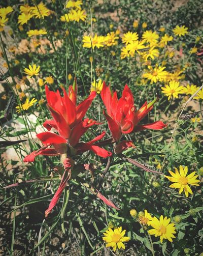 """""""Double Paintbrush"""" Two beautiful 'Desert Indian Paintbrush' wildflowers stand in contrast to a field of yellow sunflowers in Central New Mexico. Wildflowers Nature Red Flower Desert Paintbrush Sunflowers New Mexico New Mexico Photography"""
