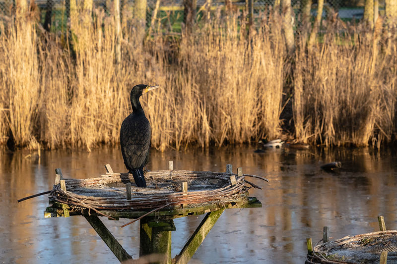 Nordsee Wintertime Wintersun Westküstenpark Westküstenpark SPO Sankt Peter-Ording Beatiful Nature Powerful Nature Relaxing Moments Relaxing Moment Sunrise Kormoran Water Bird Animal Themes Animal Wildlife Animal Animals In The Wild Lake Vertebrate One Animal Reflection Perching Nature Plant No People Tree Cormorant  Wood - Material Day Outdoors My Best Photo