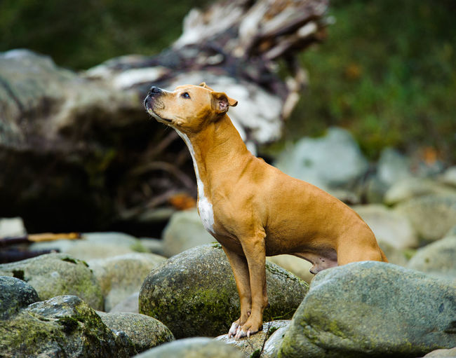 American pit bull terrier standing on rock