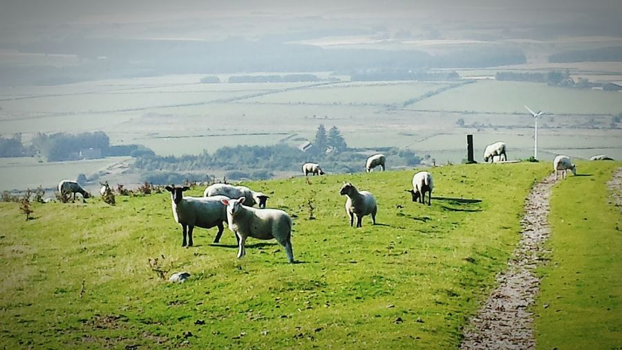 Up another hill today 😊 found sum new pals lol Hillside Farm Animals Sheep Mormond Hill Scotland Landscape_Collection