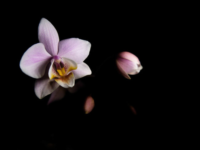 Flower Flowering Plant Fragility Freshness Petal Beauty In Nature Vulnerability  Plant Inflorescence Flower Head Studio Shot Black Background Close-up Nature Growth No People Pollen Indoors  Copy Space