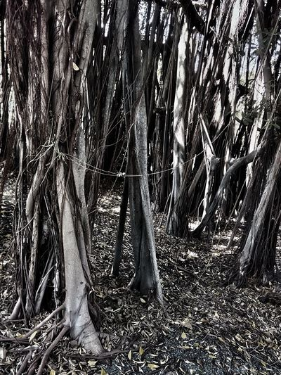 Tree Nature Tree_collection  Nature Photography Tree View Tree Photography Banyan Tree Banyan Root Of Banyan Tree Banyan Root Black And White