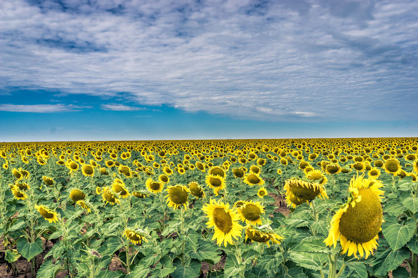 Abundance Agriculture Beauty In Nature Blooming Cloud Cloud - Sky Colour Of Life Crop  Cultivated Land Field Flower Flower Head Fragility Freshness Growth Happy Landscape Nature Petal Pivotal Ideas Plant Rural Scene Saturdaysong_eyeemchallenge Sunflower Yellow Finding New Frontiers Summer Exploratorium