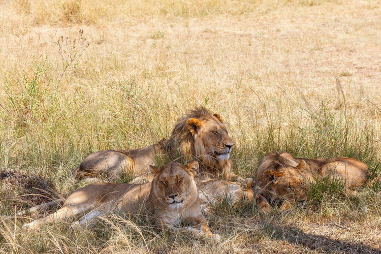 Sleeping lions in the shadow