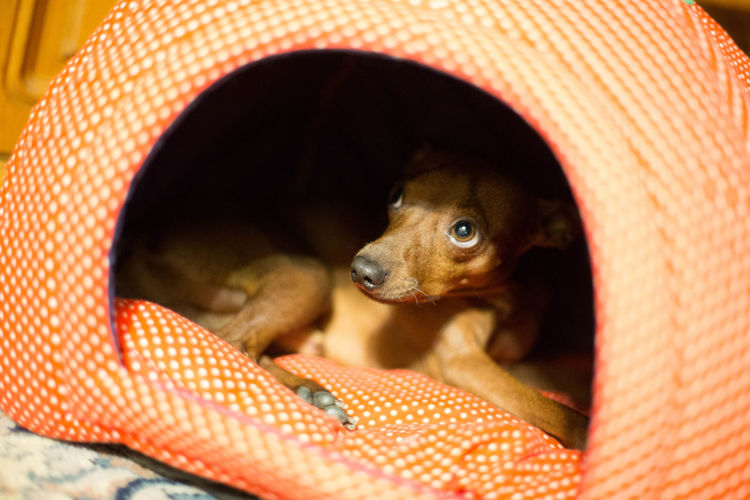 hi Animal Themes Close-up Cutie Dog Domestic Animals Indoors  Mammal Miniature Pinscher Minpin One Animal Pets