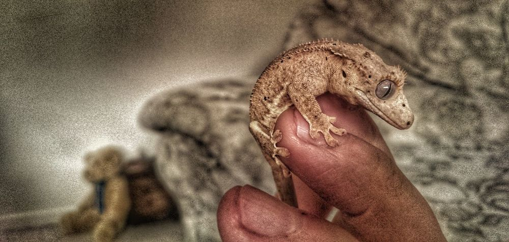 Close-up Animal Themes Human Hand Gecko Lizard Geckolove Gecko Crested Gecko CrestedGecko Baby Gecko Sitting Pretty Lizard Photography Lizardporn Forground Teddy Bear 🐻 My Pet Hdr Edit Snapseed Tiny Planet Popular Photos