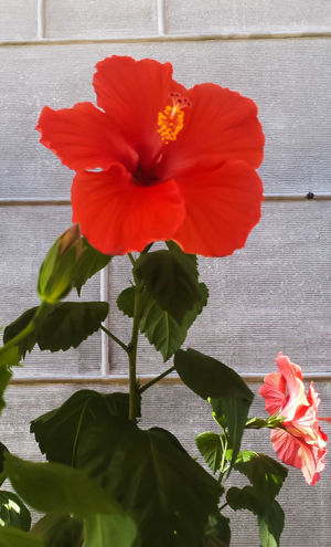 Flower Plant Red Nature Hibiscus Freshness Outdoors Close-up Day No People