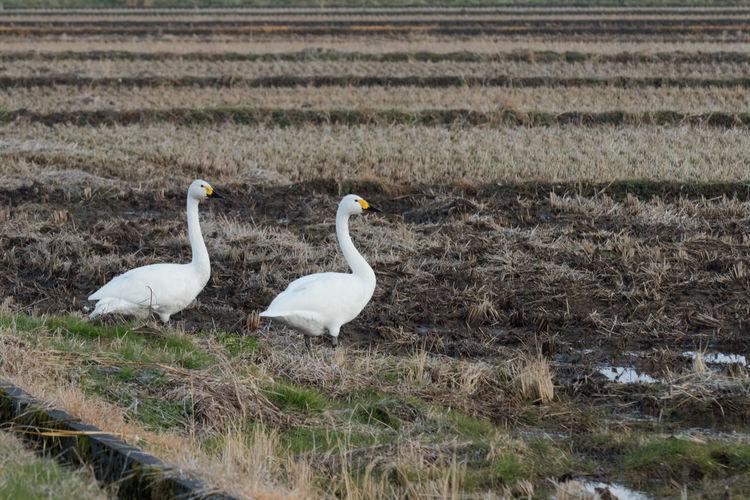 Swan on field