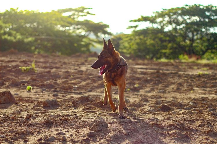 Cessna The Malinois Dog Pets Animal Outdoors Nature No People BelgianMalinois Belgian Malinois Malinois Malinoisofeyeem Malinoislove Malinois Dog Malinoislife Malinoislover Malinoislovers Malinoisdog First Eyeem Photo Canon Canonphotography Canon650d 50mm Canon_photos Canon Photography Canon_official