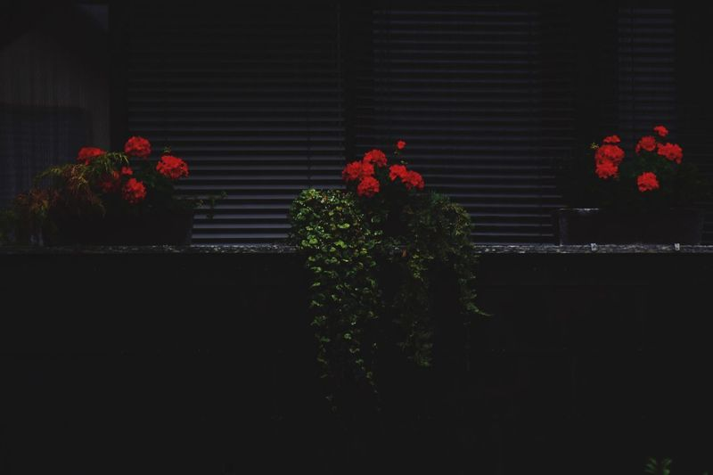 Red Flowers on