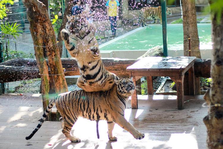 Tiger Tiger. Animal Animal Themes Animal Wildlife Animals In Captivity Animals In The Wild Big Cat Cat Day Domestic Animals Feline Mammal Nature No People One Animal Tiger Tree Vertebrate Zoo